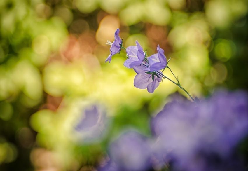 A bellflower
