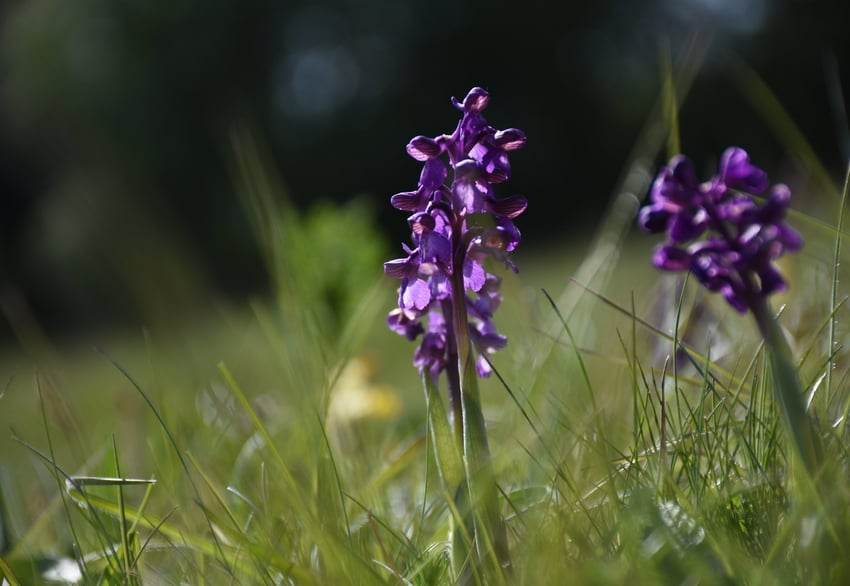 A purple marsh orchid